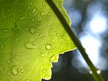 Wet green leaf in front of the sun. Royalty Free Stock Photos