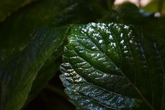Wet green leaf of a tree in a hot summer. In the garden stock photos