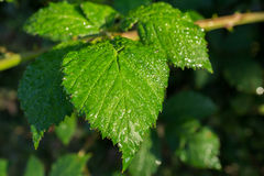 Wet green leaf. Water droplets on wet green leaf Royalty Free Stock Images
