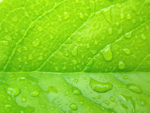 Wet green leaf. Green leaf with water drops Royalty Free Stock Photography
