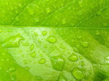 Wet green leaf. Green leaf with water drops Stock Images
