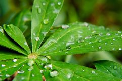 Wet green leafs Stock Photography