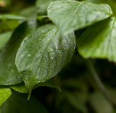 Wet green leave Stock Photography
