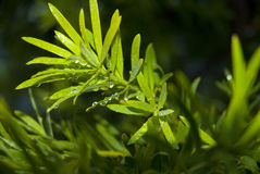 Wet green leaves Royalty Free Stock Photography