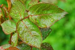 Green leaves on a branch of a rose bush with water drops. Wet green leaves on a branch of a rose bush with water drops royalty free stock photos