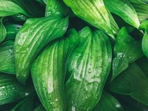 Wet green leaves in drops of water Royalty Free Stock Photo