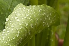 Wet Green Leaves in a Garden Royalty Free Stock Photography