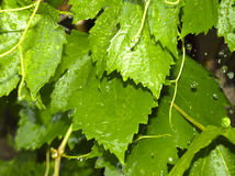 Wet green leaves and raindrops Royalty Free Stock Photography