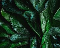 Wet green leaves. texture. Close up stock photography
