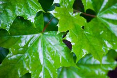 Wet green maple leaves Royalty Free Stock Images