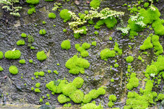 The wet green moss on dark rocks royalty free stock images