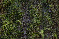 Wet green moss Royalty Free Stock Photo