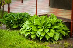 Wet Green Plant Hosta In Garden. Perennial Herbaceous Young Wet Green Plant Hosta In Spring Rain Garden Royalty Free Stock Photos