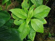 Wet Green Plant in the Jungle. High Angle View of Wet Green Plant in the Jungle royalty free stock images