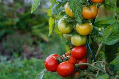 Wet green and red tomatoes. Stock Photo