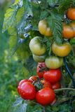 Wet green and red tomatoes. Stock Photos