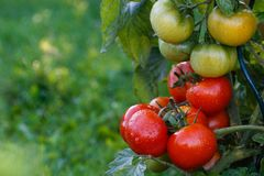 Wet green and red tomatoes. Royalty Free Stock Photo