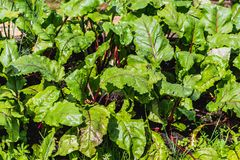 The wet green and red tops of young beets growing on the brown soil in the garden in summer royalty free stock image