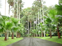 Wet, green, shady palm road. A shady road surrounded by palm trees after the rain. Captured in Bogor Botanical Garden, West Java, Indonesia Royalty Free Stock Photography