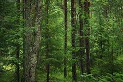 Wet green summer forest of karelia Stock Photos