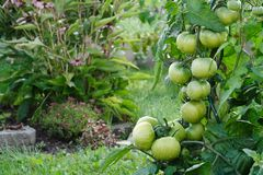 Wet green tomatoes growing in a garden. Herbs in the background Stock Image