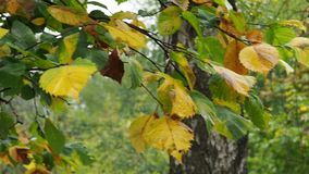 Wet green and yellow leaves of elm tree in rain. Wet green and yellow leaves of elm tree on twig and birch trunk in park in autumn rain stock footage