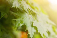 Wet green young leaves with rain drops in warm sunlight stock image