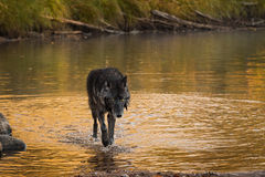 Wet Grey Wolf & x28;Canis lupus& x29; Walks Out of River Royalty Free Stock Photo