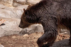 Wet Grizzly Bear Stock Image
