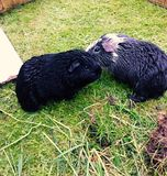 Wet guinea pigs. Guinea pigs cuddling after getting stock photography