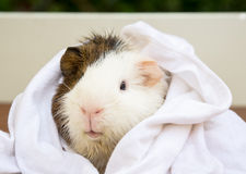 Wet a Guinea pigs with a towel wrap. Royalty Free Stock Photography