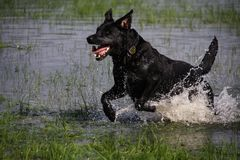 Wet Gundog Royalty Free Stock Image