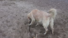 Wet hairy dog on beach sand with stick stock video
