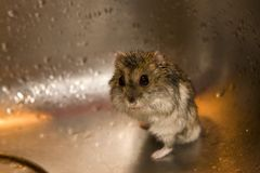 Wet hamster Royalty Free Stock Image