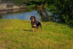Wet happy dog in the grass by the lake. Wonderful summer day Stock Image