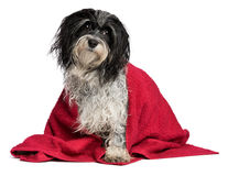 Wet havanese dog with a red towel. A wet black and white havanese dog after the bath with a red towel and a visible leg, isolated on white background Royalty Free Stock Image