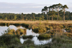 Wet Heath with Pine Trees Royalty Free Stock Image