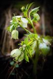 Wet Helleborus flower. Stock Photography