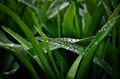 Wet herb Royalty Free Stock Photos