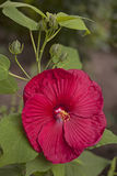 Wet hibiscus. Blooming red Hibiscus flower with rain drops in garden Stock Image