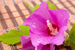 Wet hibiscus flower Royalty Free Stock Photo
