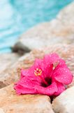 Wet Hibiscus Flower Royalty Free Stock Photography
