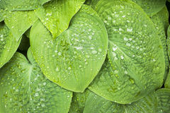 Wet hosta leaves Stock Images