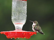 Wet Hummingbird Royalty Free Stock Images