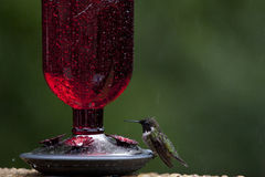 Wet Hummingbird. Hummingbird sitting on feeder in rain with eyes closed stock image