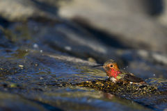 Wet Hummingbird. Hummingbird washing in a shallow stream stock photography
