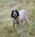 Wet hunting dog Stock Photography
