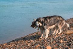 Wet husky dogs play on the shore of a summer river. Happy Siberian husky gnaw a stick and take away from each other. Concept of games with dogs on walk royalty free stock photography