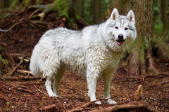 A wet husky in the forest. A wet husky takes a break after swimming in a mountain stream Royalty Free Stock Photo