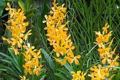 Wet hybrid orchid flower in yellow orange x Aranda Bangkok Gold. Closeup photo of wet hybrid orchid flower in yellow orange x Aranda Bangkok Gold in the garden Stock Images